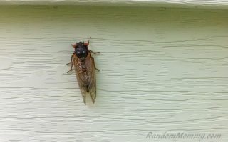 The Cicadas are everywhere!